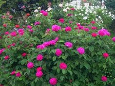 Rose de Rescht reblooms heavy scent can take shade