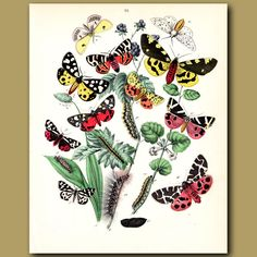 Tiger Moths. Antique lithograph, lovely hand finished coloring.