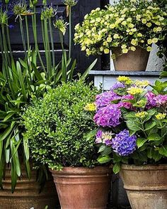 A wonderful grouping of large terracotta pots and plants in this @krullskrukker  image from her pot garden!Agapanthus on the left are always great in a pot for year round appeal.. and contrasts so well with the Buxus and Hydrangea.. #gardenpots#garden#hydrangea #agapanthus #terracotta #thelimewalkblog #jennyroseinnes #beautiful