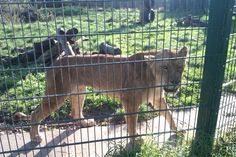 lion (blackpool zoo, 2014)