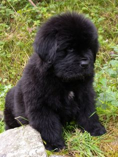 This looks like bear as a puppy Really Cute Puppies, Cute Dogs And Puppies, I Love Dogs, Doggies, Fluffy Dogs, Fluffy Animals, Cute Baby Animals, Farm Animals, Newfoundland Puppies