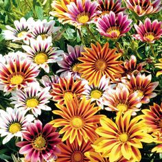 Patio | Gazania 'Stars In Stripes'  (Treasure Flower)  Half-hardy Annual    Unique flowers with beautifully contrasting stripes. The dazzling blooms of 'Gazania Stars in Stripes' love to bathe in the heat of the sun; demurely closing their petals during cold or overcast periods. Free flowering and easy to grow, they are also tolerant of coastal conditions.