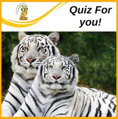 Quiz For you! Where did the white Tigers originated? o America o Australia o North Pole o India Wildlife, America, White Tigers, North Pole, Australia, India, Board, Blog, Animales