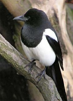 magpie - Colorado.  Such a smart, pretty bird!