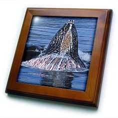 """Alaska, Inside Passage, Humpback Whales - US48 TDR0172 - Trish Drury - 8x8 Framed Tile by 3dRose. $22.99. Cherry Finish. Dimensions: 8"""" H x 8"""" W x 1/2"""" D. Inset high gloss 6"""" x 6"""" ceramic tile.. Keyhole in the back of frame allows for easy hanging.. Solid wood frame. Alaska, Inside Passage, Humpback Whales - US48 TDR0172 - Trish Drury Framed Tile is 8"""" x 8"""" with a 6"""" x 6"""" high gloss inset ceramic tile, surrounded by a solid wood frame with pre-drilled keyhole for ea..."""