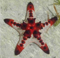 Starfish or sea stars are echinoderms About 1,500 living species of starfish occur on the seabed in all the world's oceans, from the tropics to subzero polar waters.  They typically have a central disc and five arms, though some species have more than this. The aboral or upper surface may be smooth, granular or spiny, and is covered with overlapping plates.