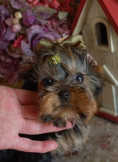 baby yorkie puppy