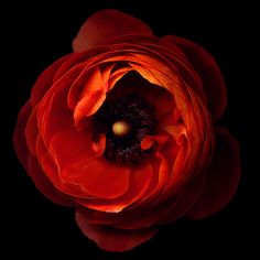 A FLOWERWORK ORANGE... ranunculus, by Magda indigo