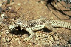 Desert iguana are great to watch as they dash around.