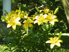 Yellow Asiatic lillies...