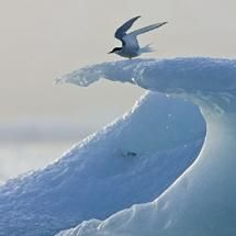 Artic Tern Ice Surfer  this bird travels from the Artic to Antartic, over 20,000 miles