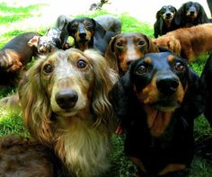 A herd of dachshunds!