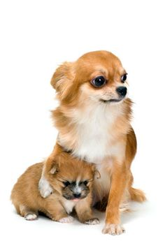 Chihuahuas are excellent pets, but a dog owner must bear in mind that the Chihuahua lifespan is shorter compared to human lifespan. That said it is important that the owner to make sure that his/her Chihuahua has a long and happy life. Chihuahua Puppies, Cute Puppies, Cute Dogs, Dogs And Puppies, Chihuahuas, Doggies, Funny Animals, Cute Animals, My Bebe