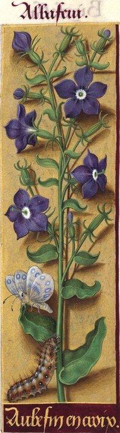 Aubefin en croix - Albafeni (Specularia speculum Alph. DC. = miroir de Vénus) -- Grandes Heures d'Anne de Bretagne, BNF, Ms Latin 9474, 1503-1508, f°89r