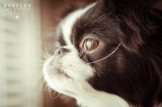 By Ruffles Art Studio. Dog Photos, Dog Pictures, Chin Chin, Black And White Dog, Japanese Chin, Lhasa Apso, Pekingese, Cute Friends, Chihuahuas