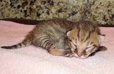 rescue little white savanah kittens Savannah Kitten, Savannah Chat, Little White, Kittens, United States, The Unit, Pets, Stuff To Buy, Animals