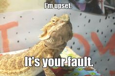 im upset its your fault - Bearded Dragon Blames You