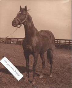 Even when posing in his paddock, Man O' War had the stance of a thoroughbred legend.