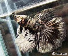 Siamese Fighting Fish - Black/White Marble Veil Tail male Betta Splendens