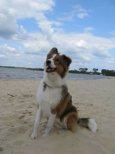 Paul (Australian Shepherd, Collie)
