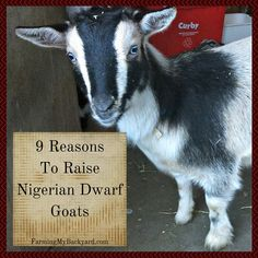 9 Reasons To Raise Nigerian Dwarf Goats from Farming My Backyard