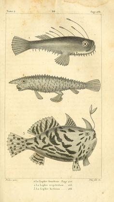 La Lophie. Histoire naturelle des quadrupèdes-ovipares t.2 Paris :Rapet,1819. Biodiversitylibrary. Biodivlibrary. BHL. Biodiversity Heritage Library