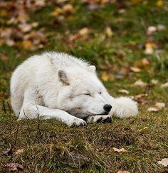 Sleeping Arctic Wolf by © Michael Cummings