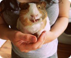 Smiling Guinea Pig  #cute