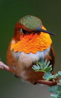 Rufous hummingbird, west coast N America; nests further N than any other hummingbird ~ in Alaska. Pretty Birds, Love Birds, Beautiful Birds, Animals Beautiful, Cute Animals, Birds 2, Angry Birds, Beautiful Pictures, Small Birds