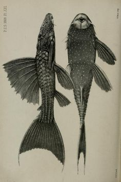 Proceedings of the Zoological Society of London, 1868.