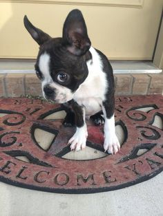 I'm sorry I ate your flip flop.... | Boston Terrier Friendzy