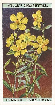 The bright golden-yellow flowers are most sensitive;The flower only unfolds its delicate petals when the sun is shining… Yellow Flowers, Wild Flowers, Rock Rose, Collectible Cards, Retro Art, Vintage Ephemera, Book Of Shadows, Digital Collage, Flower Cards