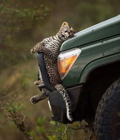 Leopard cub in search of big and warm like Mama!