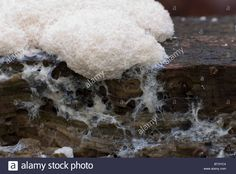 White slime mold moving across a log by Alan Bash