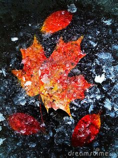 LEAVES IN ICE | Autumn Leaves In Ice Stock Images - Image: 10926094