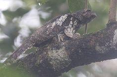 A nesting Sunda Frogmouth (Batrachostomus comutus) at Namang Village, Central Bangka, Indonesia.jpg