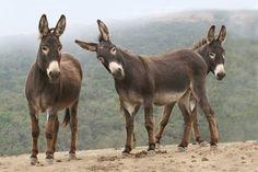 (A Burro is a small donkey, not a miniature donkey) Cute Donkey, Mini Donkey, Farm Animals, Animals And Pets, Cute Animals, Wild Animals, Beautiful Horses, Animals Beautiful, Miniature Donkey