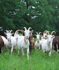 Goat ~ via 'French Farm Animals' ~ Google