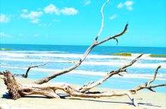 Driftwood at the Hunting Island State Park! ( Beach)