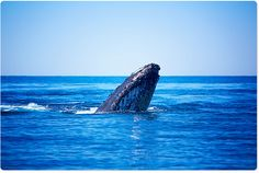 The Kimberley has the biggest population of Humpback whales in the world. This time of year they are all passing by. Curious things, they came right up to the boat yesterday. — at Eco Beach Wilderness Retreat