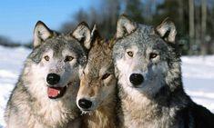 Animaux - Signez la pétition : Stopper la chasse des loups en France