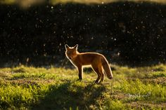 this is what the fox say, LOL  For Brian :-))