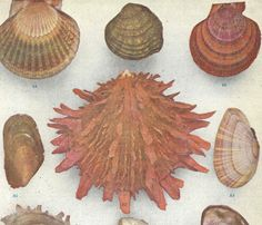 1908 Antique Shell Bivalve Fresh Water Lithograph Original by catladycollectibles on Etsy