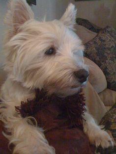 Kirby Guy Henson - my first Westie - my lap dog.