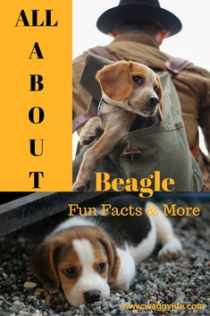 Fun facts about Beagle dogs. What makes a Beagle a Beagle. How to choose a good puppy that will be the best lifetime companion. Questions answered. Learn More.