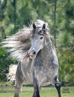 ANDALUSIAN GELDING