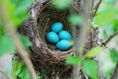 Huevos de Quetzal  Cuando el nido está listo, la hembra pone generalmente dos…