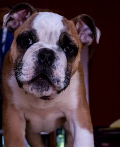 #boxer puppy