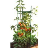 How To Stake Tomato Plants, great tips to get bigger, juicer tomatoes