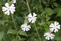 White Campion - Silene vulgaris Botanical Drawings, Wildflowers, Album, Plants, Plant, Wild Flowers, Planets, Card Book